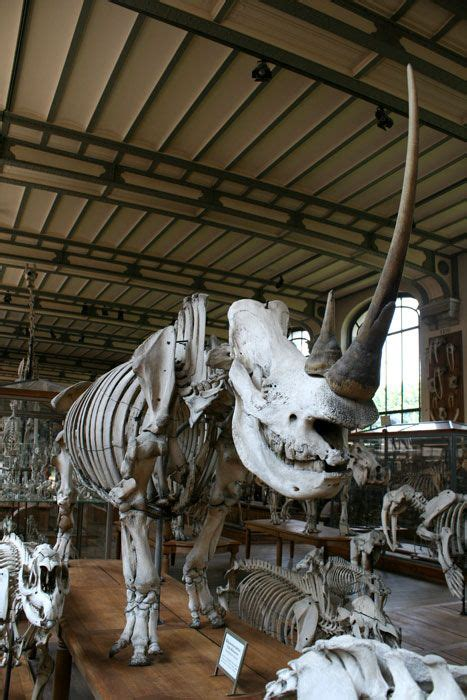 Prehistoric Rhino Skeleton