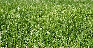 All You Need to Know About Tall Fescue