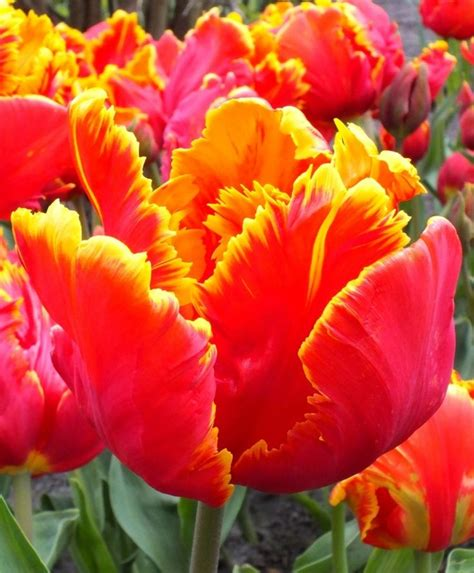 91 best images about tulip parrot on