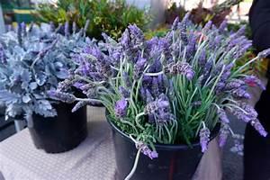 Hortensien Kombinieren Mit Anderen Pflanzen : lavendel pflanzen ein ausf hrlicher pflanzratgeber ~ Eleganceandgraceweddings.com Haus und Dekorationen