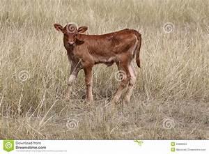 Brown Beef Newborn Calf Stock Photo - Image: 44086024