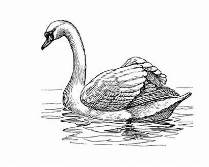 Swan Clipart Illustration Swans Drawing Drawings Pencil