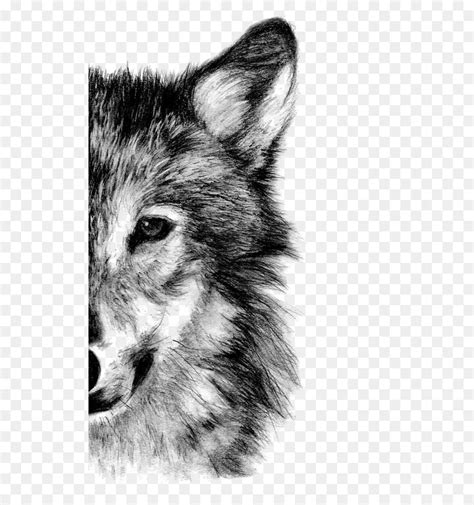 gray wolf drawing pencil sketch wolf  transprent