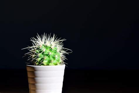 picture cactus pot plant leaf nature photo