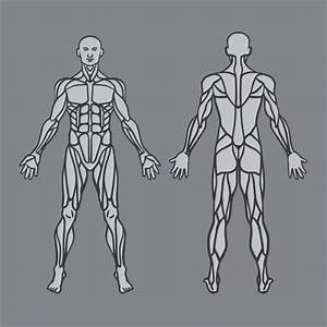 Anatomy Muscle Stock Vectors  Royalty Free Anatomy Muscle