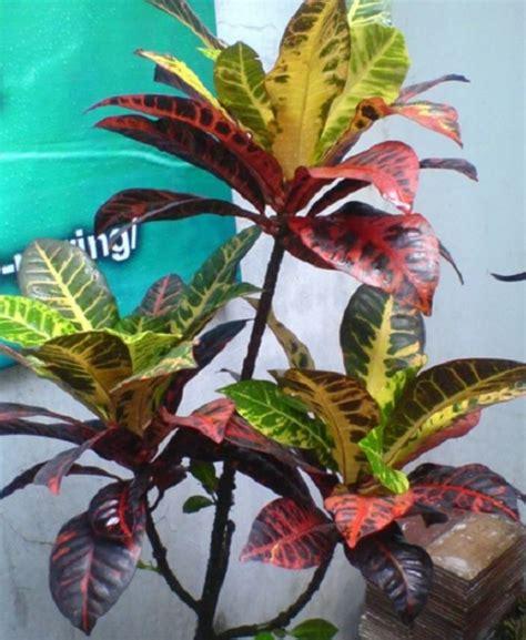 jenis bunga puring tumbuh indonesia bibitbungacom