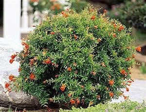 Dwarf Pomegranate Punica granatum 'Nana'