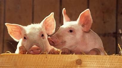 Pig Pigs Wallpapers Animal Backgrounds Desktop Alpha