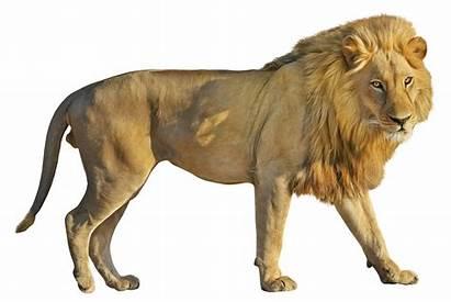 Lion Transparent Clipart Clip Leon Cartoon Lions