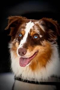 Australian shepherd, Hazel eyes and Eyes on Pinterest