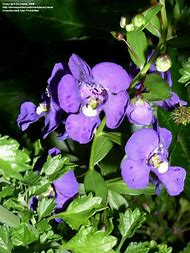 Blue Snapdragon Flowers