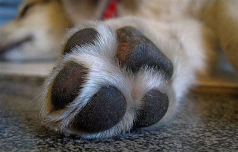swollen dog paw  pad common  home remedies