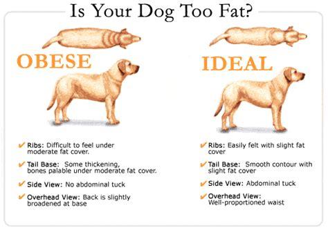 pet obesity  major health factor advanced veterinary nutrition