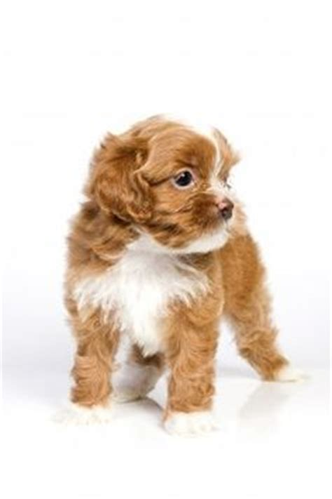 small non shedding dogs for seniors 1000 ideas about hypoallergenic breed on
