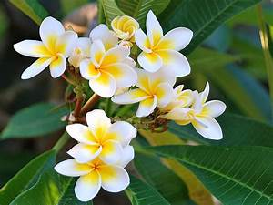 Plumeria Flowers With Yellow White Hips Hawai Tropical