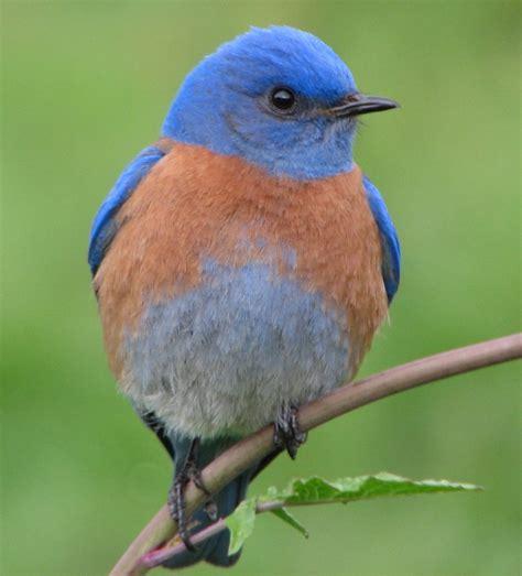 blue birds birds western bluebird