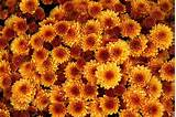 Mums 101: how to care for your fall flowers | Landscaping ...