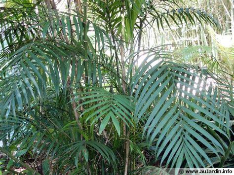 cuisiner le gibier palmier bambou du costa rica chamaedorea costaricana