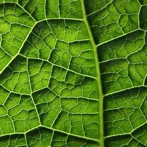 Texture example. Rigid underside of a leaf.