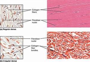 Part A Shows A Diagram Of Regular Dense Connective Tissue Alongside A Micrograph  The Tissue