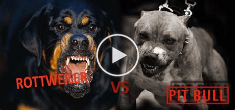 Pitbull Vs Rottweiler Tug Of War,Who Will Win? - Doggies Care