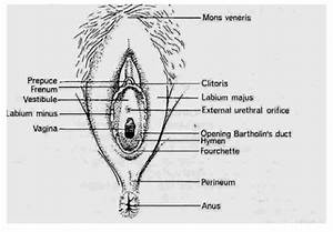 Anatomy Of The Female External Genitalia