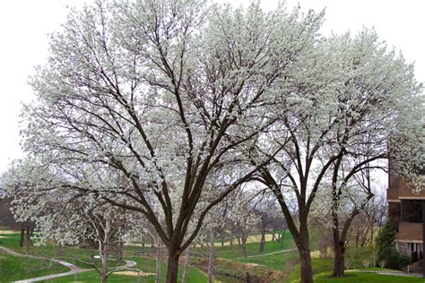 flowering trees northeast it s spring a look at the trees in bloom around northeast johnson county