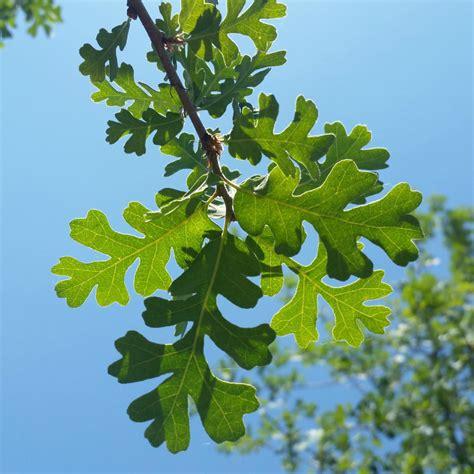 oak valley quercus lobata trees midvalleytrees deciduous evergreen sun zone mid