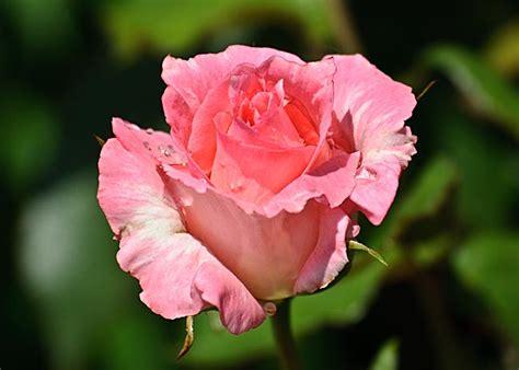 rosenbluete man kann zwischen wildrosen und kulturrosen