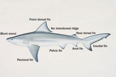 bull sharks facts hubpages