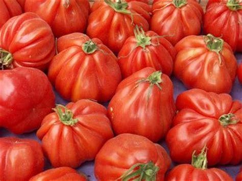 pomodori cuore di bue in vaso 98 best images about pomodori tomatoes on