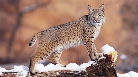 wildcat facts history  information  amazing