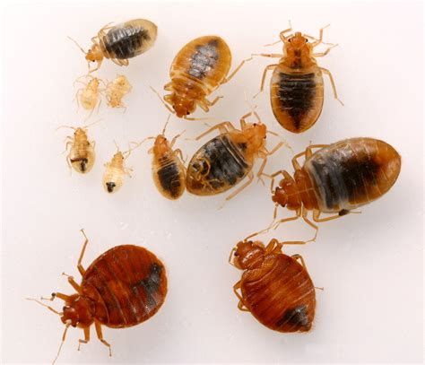 Bed Bugs by Bed Bug Management Challenges Pests In The