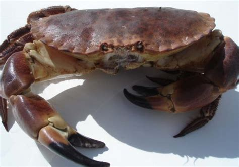 bien choisir tourteau et araign 233 e de mer savoir cuisiner fr