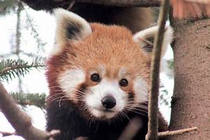Looking for Love?: Detroit Zoo's Red Panda - Hour Detroit ...