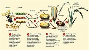 The Golden Rice Technology