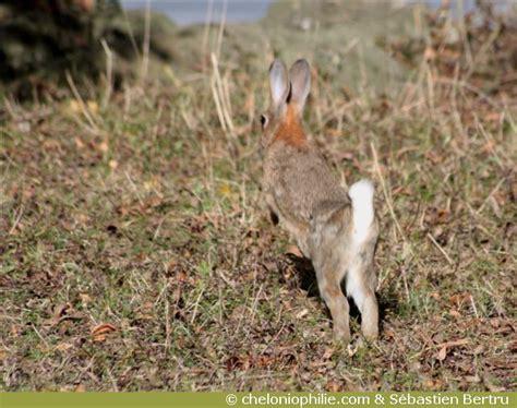 cuisiner un lapin de garenne le lapin de garenne oryctolagus cuniculus