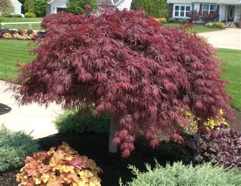 japanese maples care best 25 japanese maple trees ideas on pinterest japanese maple garden garden ideas with