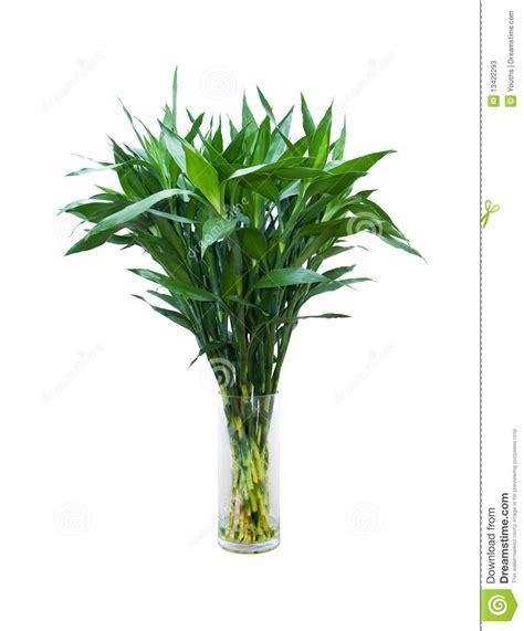 bambu in vaso bambu verde em um vaso de vidro fotos de stock imagem