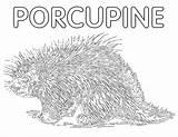 Porcupine Coloring Animal Coloringway sketch template