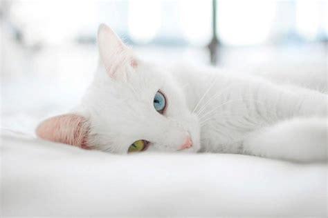 Magnifique Chat Blanc