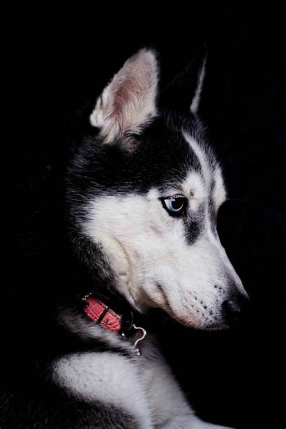 Dog Husky Siberian Adopt Wallpapers Profile Cost