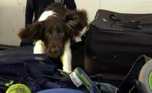 Mice trained to sniff out terrorists at airports: The real ...