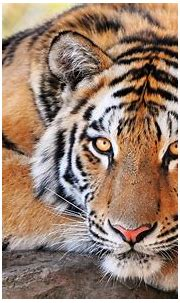 30 Most Beautiful Tiger Pictures That Will Inspire You ...