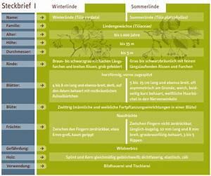 Linde Baum Steckbrief : sdw projekte arbeitskreise baum des jahres baum des jahres die winterlinde tilia cordata ~ Orissabook.com Haus und Dekorationen