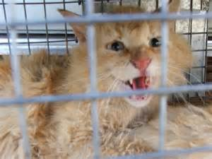 feral cat diseases feral cat humane live trapping resolution to