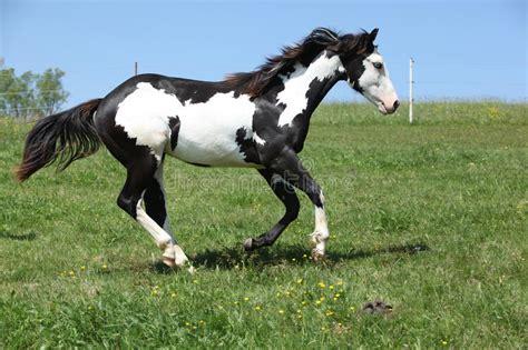 horse paint running stallion cavallo wit zwart nero bianco hengst gorgeous het lopen pintura stallone splendido funzionamento schitterende witte paard