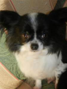 Black Long Haired Chihuahua For Sale Dogs Puppies For Sale ...
