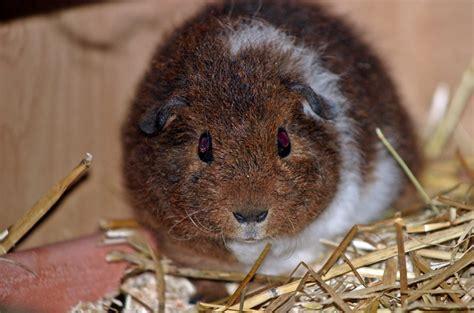 list  guinea pig breeds