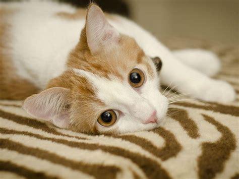 schilddruesenueberfunktion bei katzen symptome